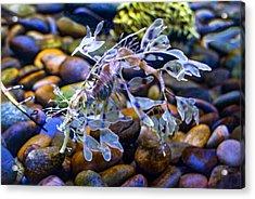Leafy Sea Dragon Acrylic Print by Steve Harrington