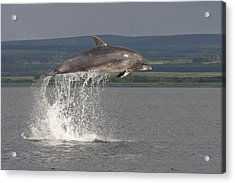 Leaping Bottlenose Dolphin  - Scotland #39 Acrylic Print
