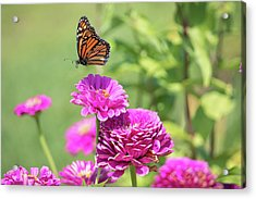 Leaping Butterfly Acrylic Print