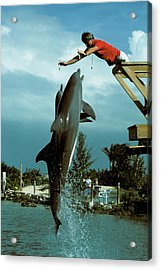 Leaping Dolphins At Hawks Cay Acrylic Print by Carl Purcell