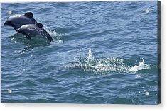 Leaping Hector's Dolphins Acrylic Print by Harold Piskiel