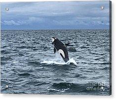 Leaping Orca Acrylic Print