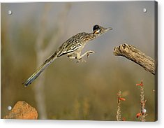 Leaping Roadrunner Acrylic Print by Scott  Linstead