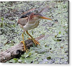 Acrylic Print featuring the photograph Least Bittern by Doris Potter
