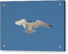 Least Tern 2 Acrylic Print by Kenneth Albin