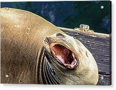 California Sea Lion Yawn Acrylic Print