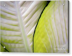 Acrylic Print featuring the photograph Leaves In White by D Davila