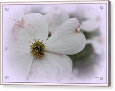 Legend Of The Dogwood Acrylic Print