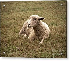 Leicester Sheep In The Dewy Grass Acrylic Print