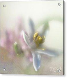 Acrylic Print featuring the photograph Lemon Blossom by Elena Nosyreva