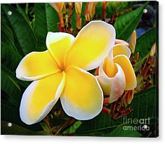 Lemon Yellow Plumeria Acrylic Print
