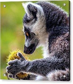 Lemur And Sweet Chestnut Acrylic Print