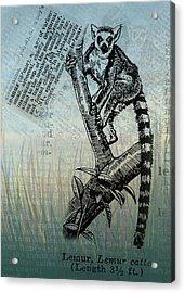 Lemur Catta Acrylic Print