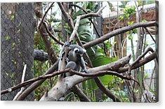 Lemur Scared Of Heights Acrylic Print