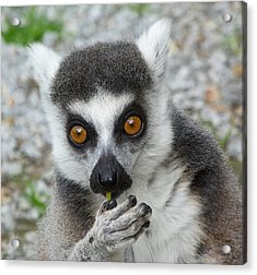Lemur Snacktime Thoughts Acrylic Print by Margaret Saheed