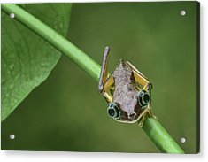 Acrylic Print featuring the photograph Lemur Tree Frog - 1 by Nikolyn McDonald