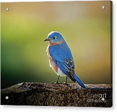 Lenore's Bluebird Acrylic Print by Robert Frederick