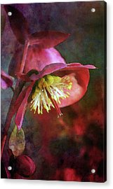 Lenten Rose Bowing To The Sun 8712 Idp_2 Acrylic Print