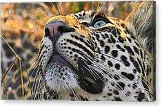 Leopard Aloft Acrylic Print
