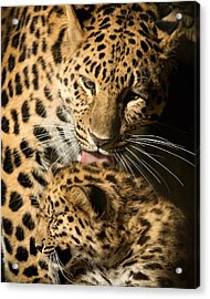 Acrylic Print featuring the photograph Leopard Cub Love by Chris Boulton