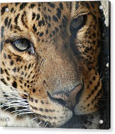 Acrylic Print featuring the photograph Leopard Face by Richard Bryce and Family