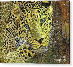 Leopard Gaze Acrylic Print by David Joyner