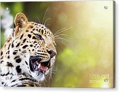 Leopard In Sunlight Acrylic Print