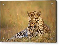 Leopard Acrylic Print by Johan Elzenga