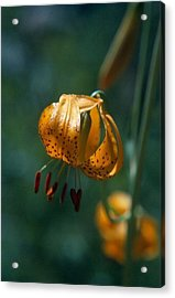 Leopard Lilly Acrylic Print by Chris Gudger