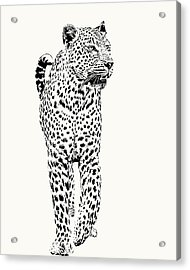 Leopard On Patrol, Front-on View Acrylic Print