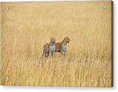 Leopard Pair Acrylic Print