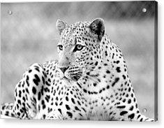 Leopard Acrylic Print by Riana Van Staden