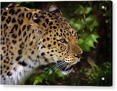 Acrylic Print featuring the photograph Leopard by Steve Stuller