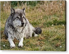 Leopold The Wolf Acrylic Print by Andrew Wells