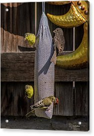 Lesser Goldfinch And Friends Acrylic Print by Allen Sheffield