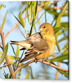 Acrylic Print featuring the photograph Lesser Goldfinch by Dan McManus