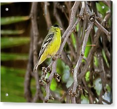 Acrylic Print featuring the photograph Lesser Goldfinch H57 by Mark Myhaver