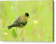 Acrylic Print featuring the photograph Lesser Goldfinch  by Ram Vasudev