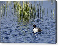 Lesser Scaup Adult Male Acrylic Print