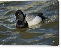 Acrylic Print featuring the photograph Lesser Scaup Drake by Bradford Martin