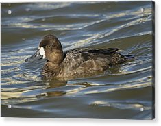 Acrylic Print featuring the photograph Lesser Scaup Hen by Bradford Martin