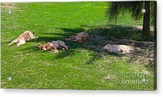 Let Sleeping Dogs Lie Acrylic Print by Louise Heusinkveld