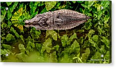 Let Sleeping Gators Lie Acrylic Print by Christopher Holmes