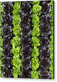 Lettuce Rows Acrylic Print by Tim Gainey