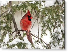 Acrylic Print featuring the photograph Leucistic Northern Cardinal by Everet Regal