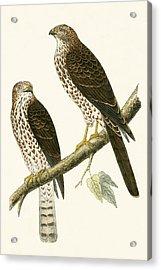 Levant Sparrow Hawk Acrylic Print by English School