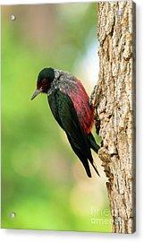 Lewis Woodpecker Acrylic Print