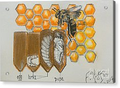 Life Cycle Of A Bee  Acrylic Print