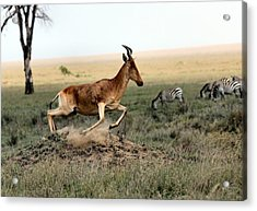 Life In The Wild Acrylic Print by Happy Home Artistry