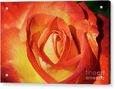Life Is Like A Rose Peeping Through The Hardships Of Life To Bloom With Color Acrylic Print by Fir Mamat